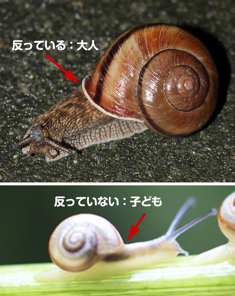 カタツムリ 殻 成長