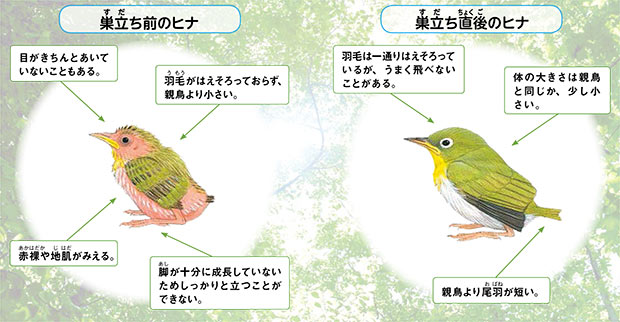 最も身近な野生の生き物、野鳥のヒナを拾わないで!